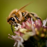 Biene auf Oregano-Blüte