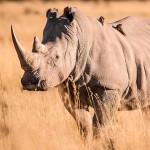 Afrika Hautnah – Folge 4 – Das Khama Rhino Sanctuary und seine Bewohner
