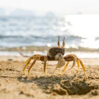 Thailand, Krabbe