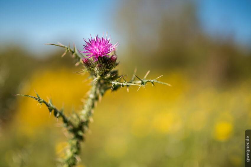 Distel - wunderschöne Details lassen uns die Zeit beim Fotografieren vergessen...