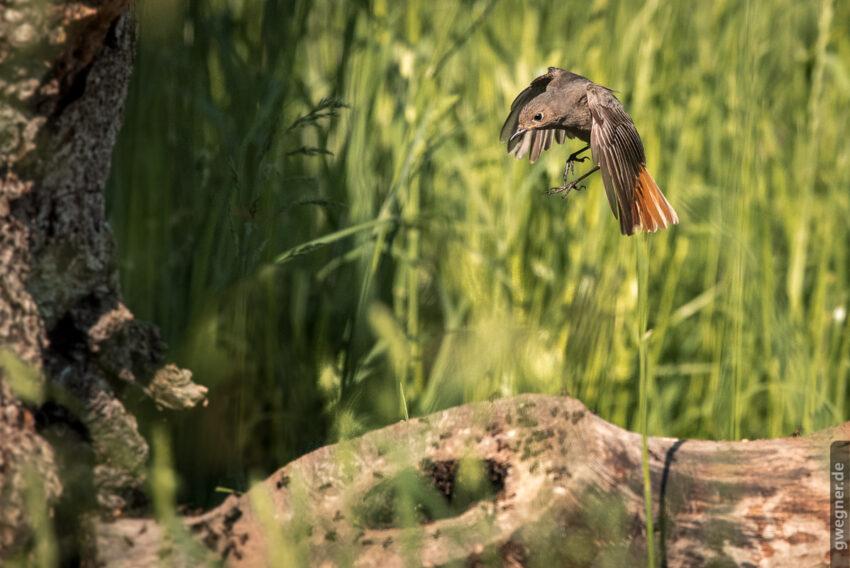 Es war eine große fotografische Herausforderung, den Gartenrotschwanz im Anflug auf das Ameisennest zu fotografieren, da er einfach unglaublich schnell war.