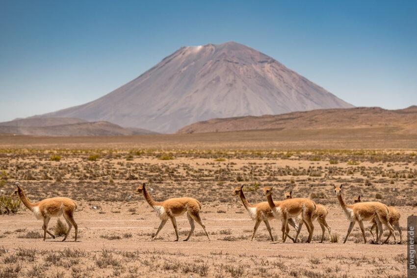 Vicuñas vor Vulkan