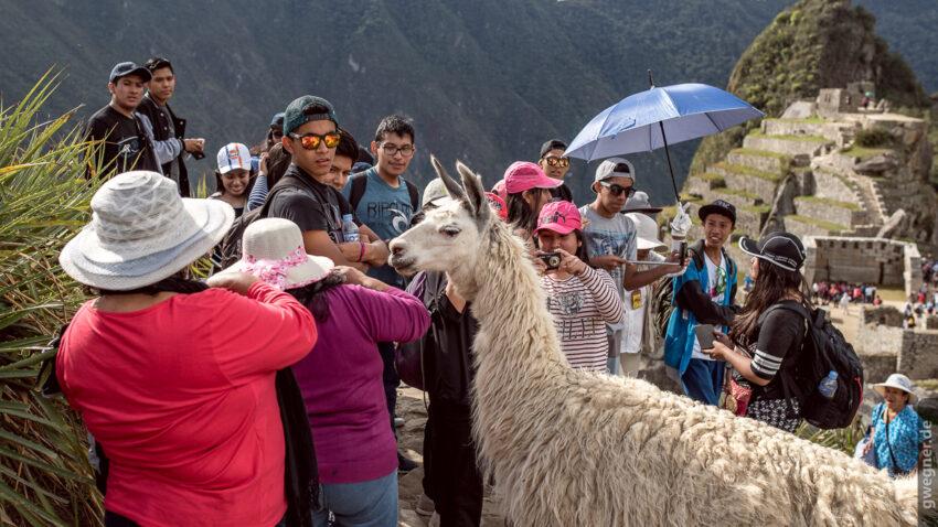 Wenn Lamas in Machu Picchu auf Touristen treffen...