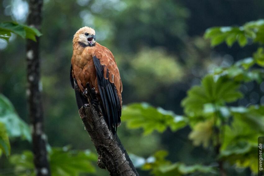 Black Collared Hawk (Fischbussard)