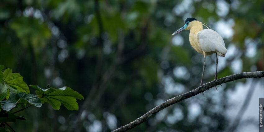 Capped Heron (Kappenreiher)