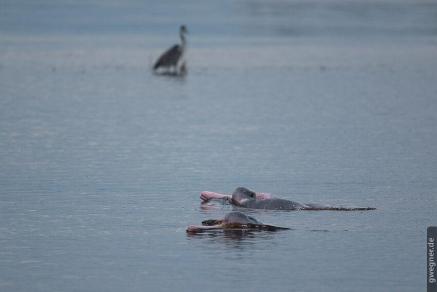 Es gibt kaum Tiere, die schwerer zu fotografieren sind, als Flussdelfine...