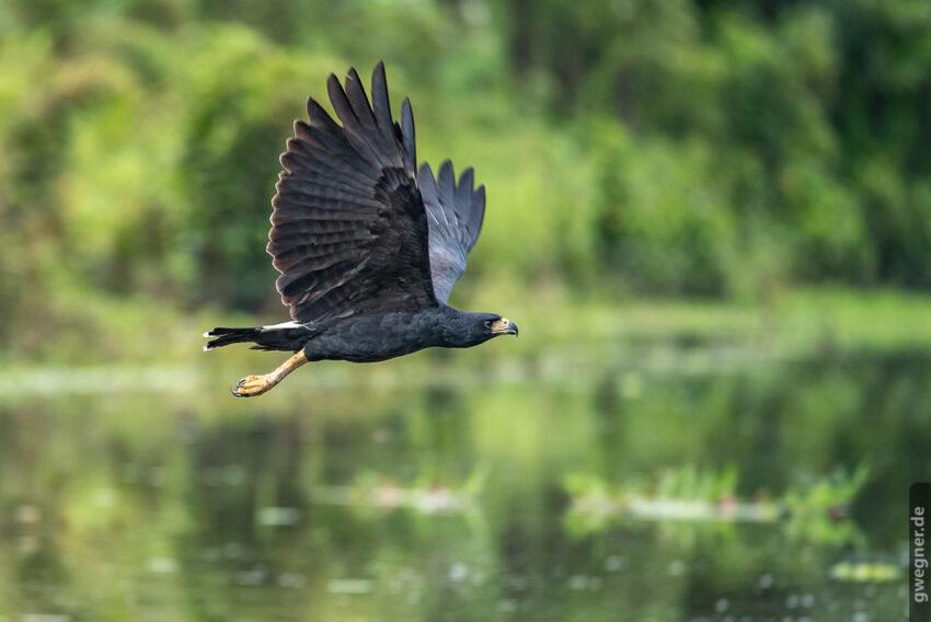 Great Black Hawk (Schwarzbussard)
