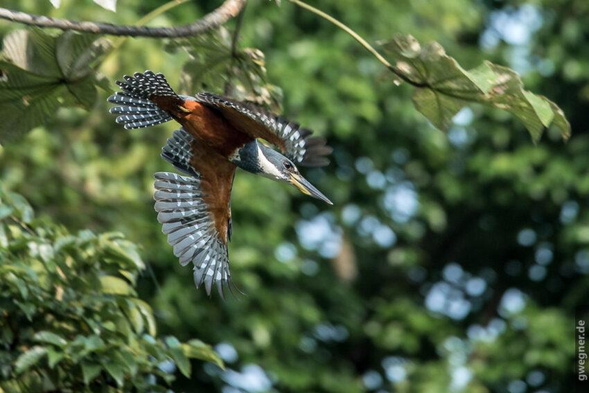 Kingfisher (Eisvogel) im Flug