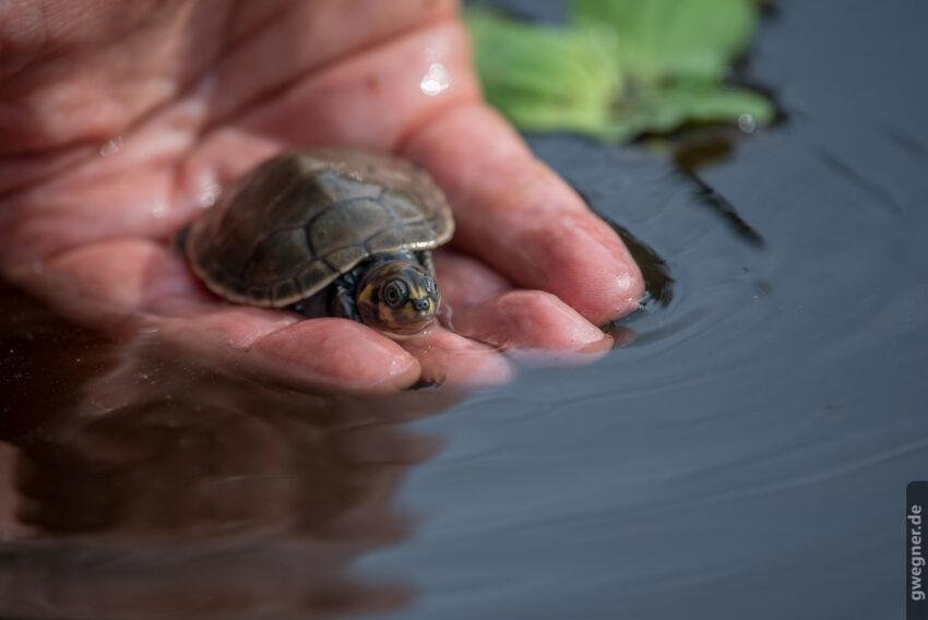 Schildkröten Junges