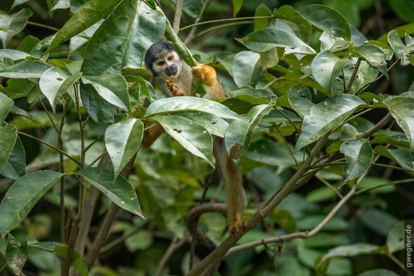 Totenkopf Äffchen (Squirrel Monkey)