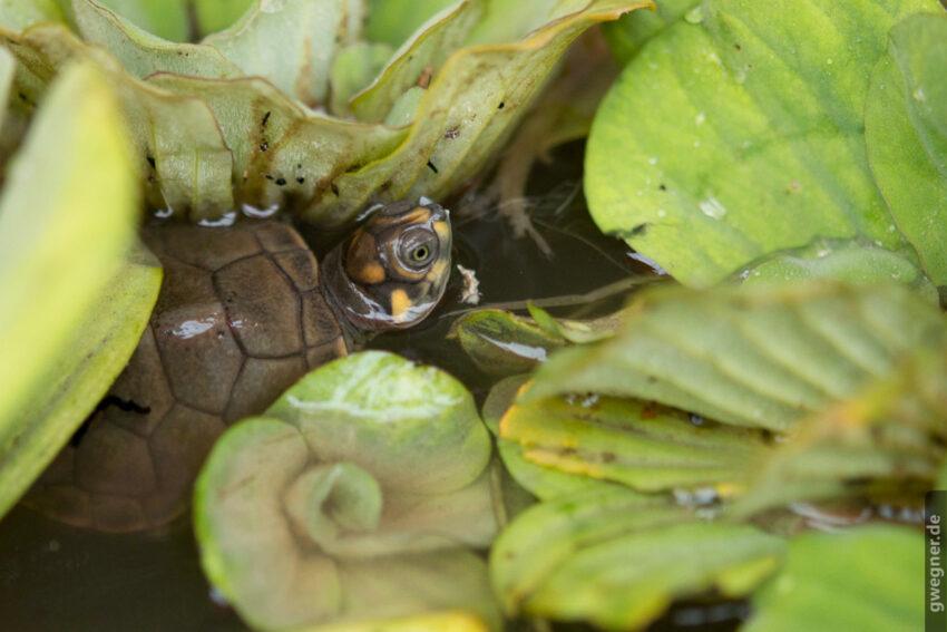 Schildkröten Junges, Foto: Dorte Nielsen