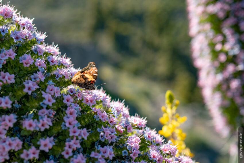 Schmetterling auf Tajnaste (aufgenommen mit dem 35mm Sigma Art)