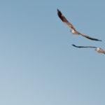 Fischadler-Pärchen im Flug