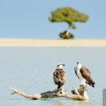 Fischadler-Pärchen vor traumhafter Kulisse