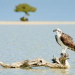 Fischadler vor traumhafter Kulisse