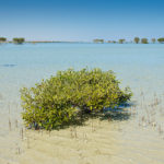 Mangrovennachkömmling