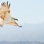 Unser Fischadler vor dem Roten Meer Gebirge