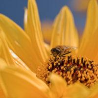 Fliege auf Sonnenblume