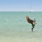 Ein Pelikan steckt im Wasser :-)