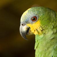 Papagei im Amazonas
