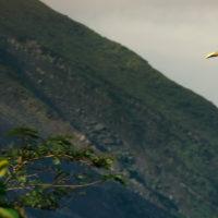 Tucano vor Arenal Vulkan, Costa Rica