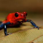 Pfeilgiftfrosch - Blue Jeans Frog, Costa Rica