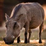 Warzenschwein im Abendlicht