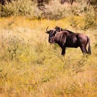 Gnu im Pilanesberg Nationalpark