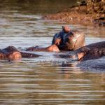 Unsere erste Hippo Familie - sehr fotogen!
