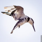 King Fisher (Eisvogel)
