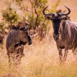 Gnus im Pilanesberg Nationalpark