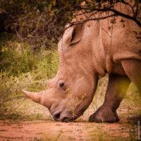 Imposant - die erste Begegnung mit einem der seltenen Nashörner