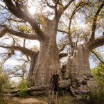 Ein nächtiger Baobab!