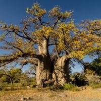 Einen majestätischeren Baum habe ich nur selten gesehen.