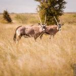 Unsere ersten Oryx-Antilopen