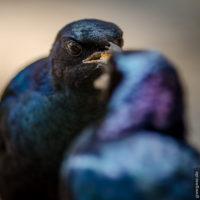 Cape Glossy Starling - Fütterung des Nachwuchses