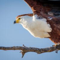 Auf der Suche nach Beute - Fischadler