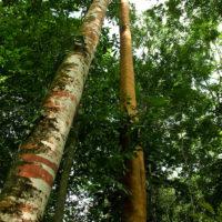 Ein Eisenbaum. Leider selten geworden!