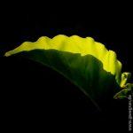 Leuchtendes, tropisches Blatt in der Abendsonne