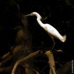 Reiher in den Mangroven des Rio Preguiça