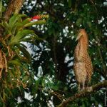 Tiger Heron - Nacktkehlreiher