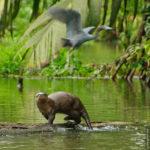 Ein Fischotter und ein wegfliegender Blaureiher