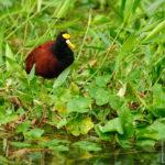 Northern Jacana - Gelbstirnblatthühnchen