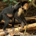 Ein sehr junges Junges mit der Weißkopf-Kapuziner Affenmama
