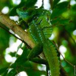 Emerald Basilisk - Ein Smaragd Basilisk