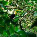 Keel-billed Toucan - Fischertukan