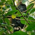 Mantled Howler Monkey - Brüllaffe - stolz auf seine Cochones :-)
