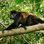 Mantled Howler Monkey - Brüllaffe