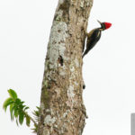 Lineated Woodpecker - Linienspecht