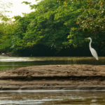 Caño Negro Nationalpark - Silberreiher